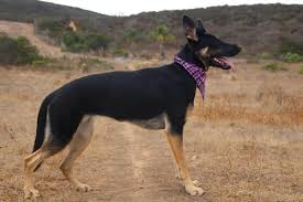 Height Growth Chart Page 32 German Shepherds Forum