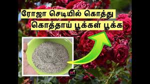rose ச ட ய ல க த த க த த ய ந ற ய ப க கள ப க க tips best fertilizer to grow roses maadi thottam
