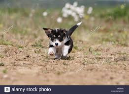Dog Pembroke Welsh corgi puppy running ...
