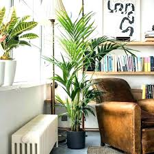 best tall indoor plants big large houseplants house for uk stone images ta