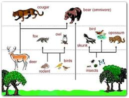 animal food chain for kids. Exellent Food Rainforest Food Chains For Kids Chain Diagram Throughout Animal N