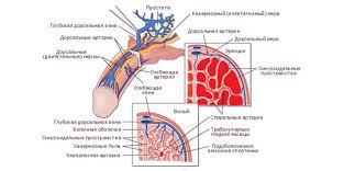 эректильная дисфункция венозного типа