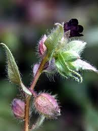 Nonea pulla, Nonea pulla - Flowers - NatureGate
