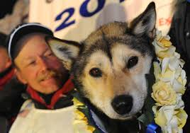 mitch seavey and his team of dogs cross finish line to win mitch seavey and his team of dogs cross finish line to win iditarod great sled race 2013