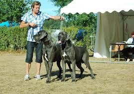 Great Dane Size Chart Great Dane Size And Growth Chart Great Dane