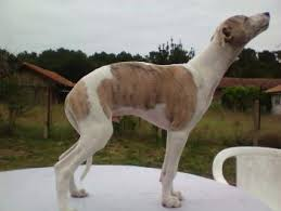 Puppy Growth Chart New Boy Whippet Male
