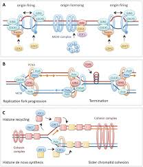 replication fork dynamics and the dna damage response figure middot open in new tab middot powerpoint figure 1 overview of vertebrate dna replication