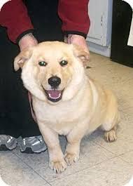 corgi lab mix puppies.  Corgi To Corgi Lab Mix Puppies