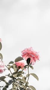 Spellbinding Rose Wallpapers For iPhone ...