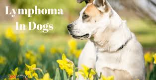 Canine Lymphoma Symptoms Lymphoma In Dogs Good Pet Parent