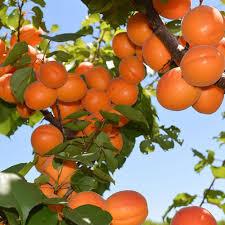 <b>Fruit</b> in Season - Rayners <b>Orchard</b>
