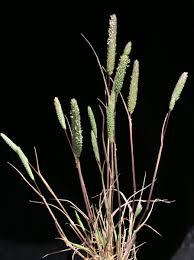Phleum subulatum (Savi) Asch. & Graebn. | Flora of Israel Online
