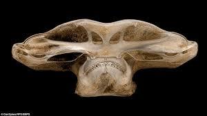 3d image of the head skull of hammer head shark reconstructed using revolutionary x ray