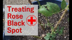Tips for Treating Rose Bush For Black Spot Fungus - YouTube