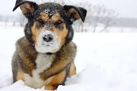 german shepherd boxer mix puppies. Modren German To German Shepherd Boxer Mix Puppies O
