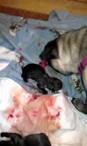 newborn baby pugs. Unique Newborn In Newborn Baby Pugs B