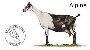 Adga Breed Standards American Dairy Goat Association Adga