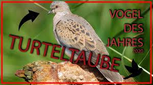 März wird einer der kandidaten zum vogel des jahres gekürt. Turteltaube Vogel Des Jahres 2020 Steckbrief Aussehen Fortpflanzung Lebensraum Und Mehr Youtube
