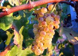 Image result for royalty free photos of Sauvignon Gris grape