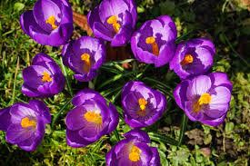 Image result for crocus