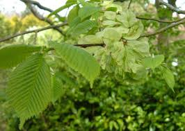 How To Identify An Elm Tree  Open Elm ProjectFruit Tree Leaf Identification