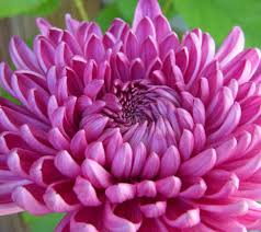 Image result for images of chrysanthemum flower