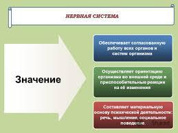Презентация на тему НЕРВНАЯ СИСТЕМА Обеспечивает согласованную  1 НЕРВНАЯ СИСТЕМА Обеспечивает согласованную работу