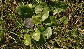 act now to get rid of lesser celandine