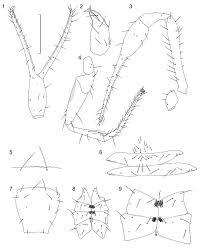 Figs 1 9 chthonius chthonius pristani n sp
