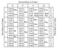 Universal Genetic Code Chart Answers Codon Charts