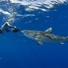 best sharks images great white shark sharks  185 best sharks images great white shark sharks and shark week