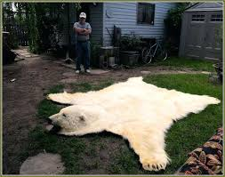fresh bear skin rug real stylish inspiration home design idea without head faux image illegal bear rug for faux polar skin