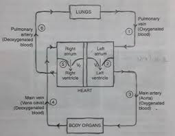 Double Circulation Flow Chart Journey Of Blood Flow Chart Deoxygenated Blood To All