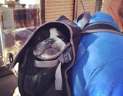 senior french bulldog goes hiking