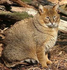 live jungle animals. Delighful Live Felis Chaus To Live Jungle Animals I