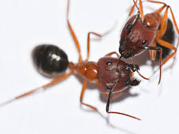 carpenter ant pic. Exellent Carpenter Pair Of Florida Carpenter Ant Heads To Carpenter Ant Pic A