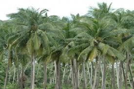 Image result for daun pohon kelapa