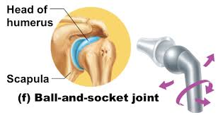 ball and socket joint. picture ball and socket joint