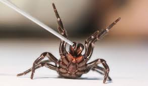 male funnel web spider milked for venom at australian reptile park picture gary brown