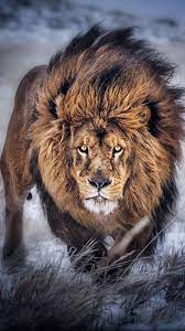 Lion iPhone Wallpapers - Top Free Lion ...