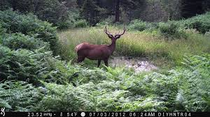 Bull Elk Browning Spec Ops Trail Camera BTC-3 The DIY Hunter - Scouting For \u2014 First Photos From a