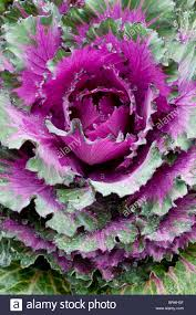 Ornamental Kitchen Garden Ornamental Brassica Autumn Fall Decorative Leaf Folaige Vegetable
