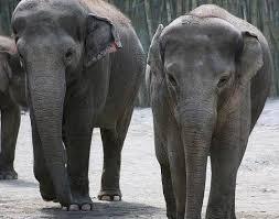 Borneo Elephant Elephas Maximus Borneensis Animals A Z