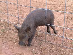 Pig Enclosure Design Top Ten Hog Trapping Mistakes