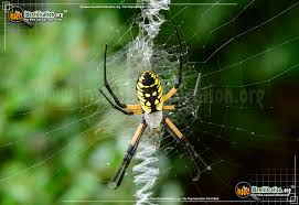 thumbnail image 1 of the black and yellow garden spider