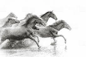 wild white horses running free. Interesting Horses Herd Of Wild Horses Running In Water Royaltyfree Stock Photo On White Free