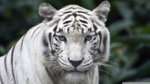 White Tiger Wallpaper Hd on WallpaperSafari