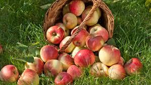 Image result for apple picking