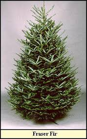 Christmas Tree Varieties Photos And Information To Choose The Types Of Fir Christmas Trees