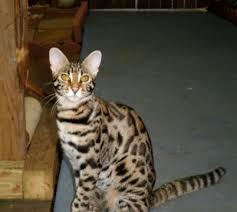bengal cat breeder brown bengal cats golden bengal kittens snow bengal kittens